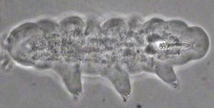 Minibiotus.tif