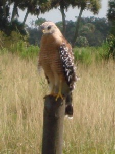 Buteo lineatus Red-shouldered Hawk