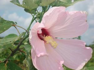 Hibiscus grandiflorus Swamp Hibiscus (1)