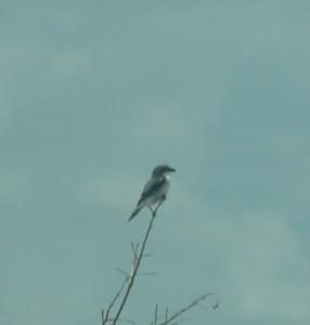 Lanius ludovicianus Loggerhead Shrike (1)