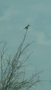 Lanius ludovicianus Loggerhead Shrike