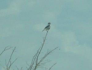 Lanius ludovicianus Loggerhead Shrike (2)